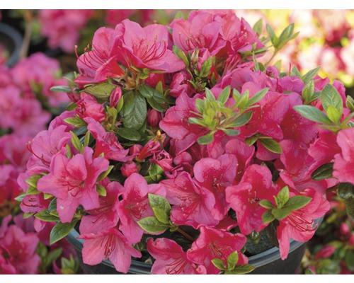 Azalée du Japon FloraSelf Rhododendron obtusum H25-30cm Co 3L rouge