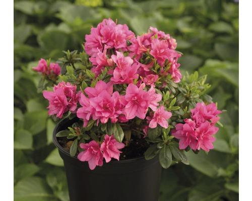 Azalée du Japon FloraSelf Rhododendron obtusum H25-30cm Co 3L rose