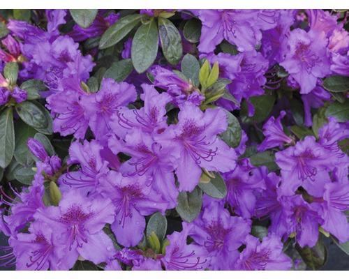 Azalée du Japon FloraSelf Rhododendron obtusum H25-30cm Co 3L violet