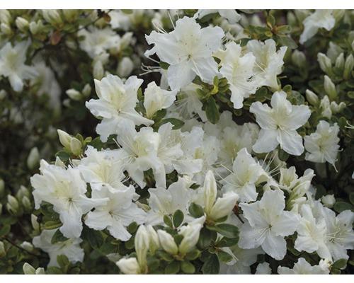 Azalée du Japon FloraSelf Rhododendron obtusum H25-30cm Co 3L blanc