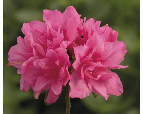 Azalée du Japon FloraSelf Rhododendron obtusum H20-30cm Co 2L rose