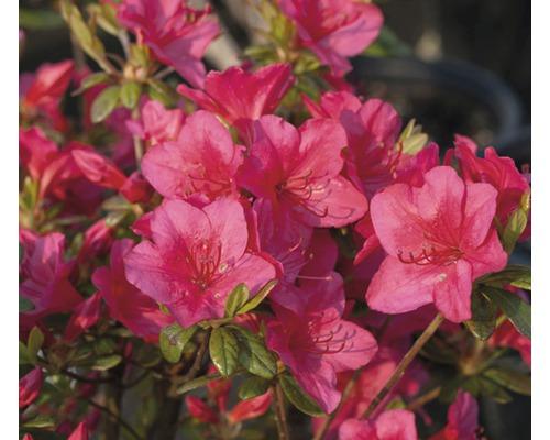 Azalée du Japon FloraSelf Rhododendron obtusum H20-30cm Co 2L rouge
