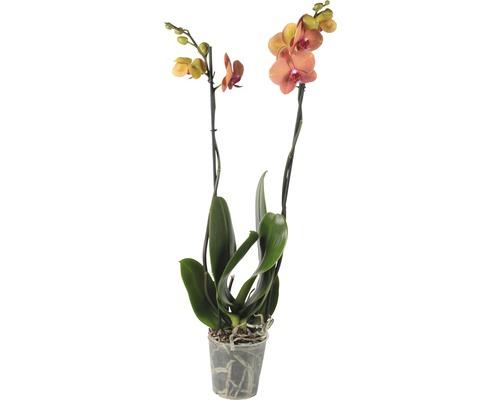 Orchidée papillon FloraSelf Phalaenopsis multiflora ''Surfsong'' H55-70cm pot Ø12cm 2 panicules