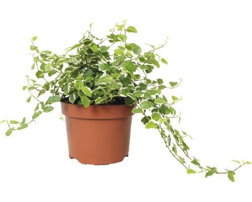 Figuier nain FloraSelf Ficus pumila ''White Sunny'' H15-25cm pot de Ø11cm