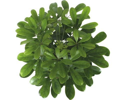 Arbre ombrelle FloraSelf Schefflera arboricola ''Nora'' H45-55cm pot de Ø13cm