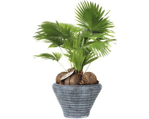 Palmier éventail, Livistona à feuilles rondes FloraSelf Livistona rotundifolia H60-70cm pot de Ø26cm