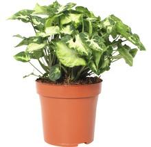 Syngonium Pixi FloraSelf Syngonium podophyllum ''Pixi'' H22-28cm pot de Ø13cm-thumb-0