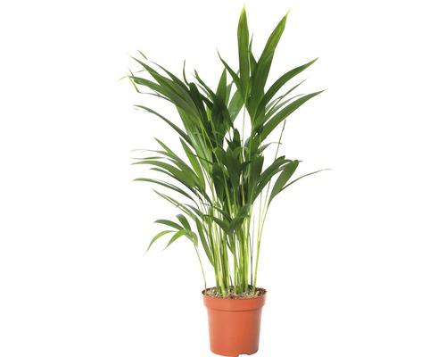Palmiste multipliant FloraSelf Dypsis lutescens H60-70cm pot de 17cm de Ø