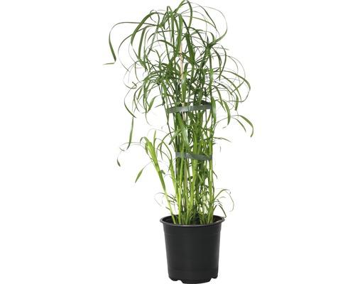 Cyperus à feuilles alternes FloraSelf Cyperus alternifolius h 45-55cm pot Ø14cm