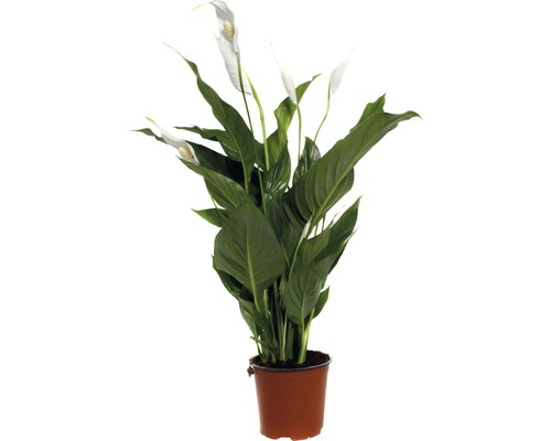 Fleur de Lune FloraSelf Spathiphyllum wallisii ''Sweet Silvio'' H70-80cm pot de Ø14cm