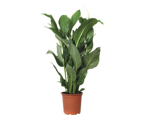 Einblatt FloraSelf Spathiphyllum wallisii 'Sweet Silvio' H 70-80 cm Ø 17 cm Topf
