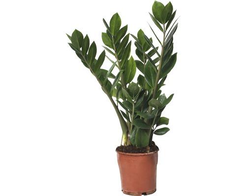 Zamioculcas zamiifolia FloraSelf H45-55cm pot de Ø13cm