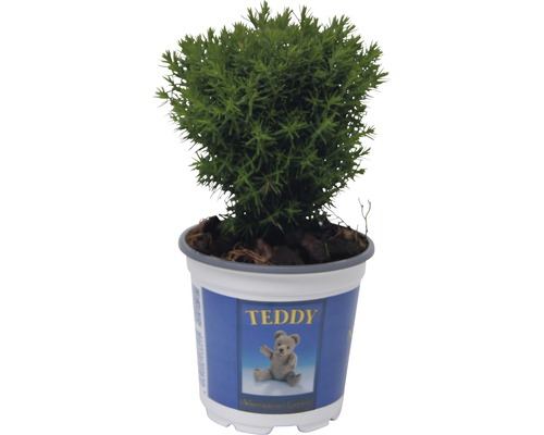 Thuya occidental FloraSelf Thuja occidentalis ''Teddy'' H 5-10 cm Ø 10 cm Topf