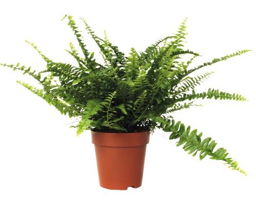 Nephrolepis exaltata FloraSelf ''Green Lady'' H30-40cm pot de Ø12cm