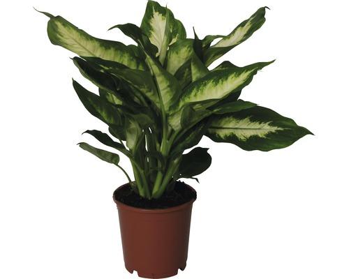 Dieffenbachia FloraSelf Dieffenbachia maculata ''Camilla'' H35-45cm pot de Ø12cm