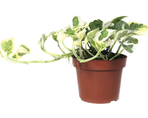 Pothos FloraSelf Scindapsus pictus ''N''Joy'' H15-20cm pot de Ø12cm