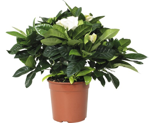 Gardénia FloraSelf Gardenia jasminoides H30-40cm pot Ø13cm