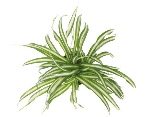 Chlorophyton chevelu retombant FloraSelf Chlorophytum comosum ''Atlantic'' H30-40cm pot de Ø12cm