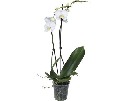 Orchidée papillon FloraSelf Phalaenopsis multiflora ''Springtime'' h 55-70 cm pot Ø 12 cm 2 panicules