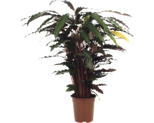 Calathée FloraSelf Calathea ornata ''Wavestar'' H105-120cm pot de Ø21cm