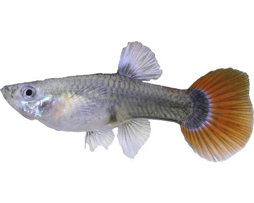 Guppy femelle multicolore