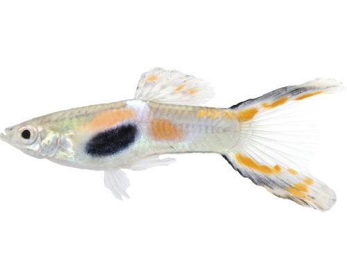 Poisson guppy mâle - Poecilia reticulata