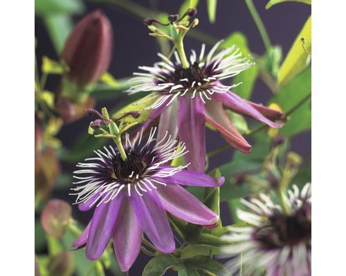 Fleur de la passion Passiflora ''Victoria'' 50-70cm Co 2,3l