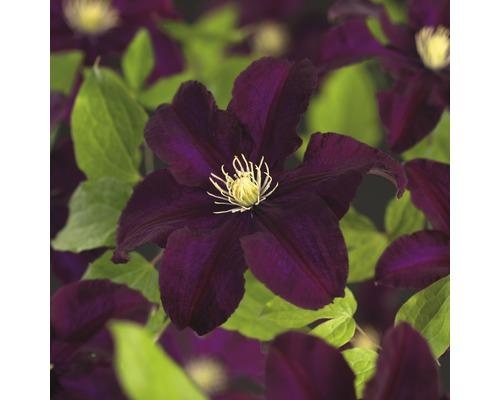 Großblumige Waldrebe FloraSelf Clematis Hybride ''Warszawska Nike'' H 50-70 cm Co 2,3 L