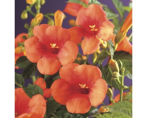 Klettertrompete FloraSelf Campsis tagliabuana ''Madame Galen'' H 50-70 cm Co 2,3 L