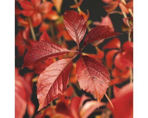 Wilder Wein FloraSelf Parthenocissus quinquefolia ''Engelmannii'' H 50-70 cm Co 2,3 L