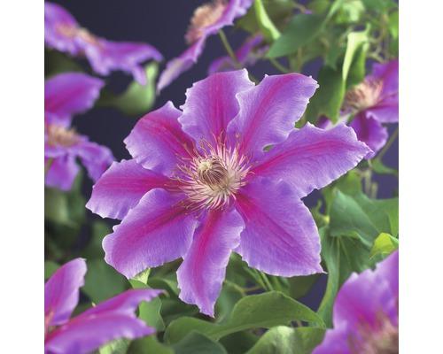 Großblumige Waldrebe FloraSelf Clematis Hybride ''Dr. Ruppel'' H 50-70 cm Co 2,3 L
