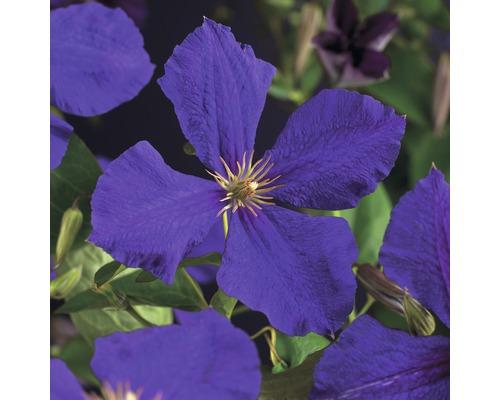 Großblumige Waldrebe FloraSelf Clematis Hybride ''Jackmanii'' H 50-70 cm Co 2,3 L