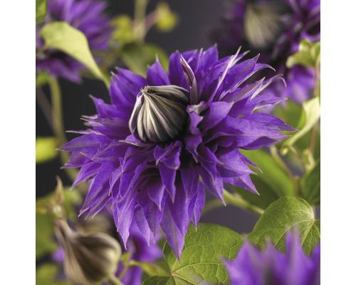 Großblumige Waldrebe FloraSelf Clematis Hybride ''Multi Blue'' H 50-70 cm Co 2,3 L