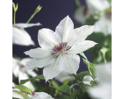 Großblumige Waldrebe FloraSelf Clematis Hybride ''Miss Bateman'' H 50-70 cm Co 2,3 L