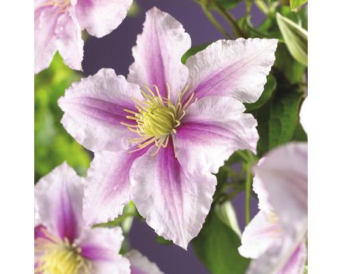 Großblumige Waldrebe FloraSelf Clematis Hybride ''Piilu'' H 50-70 cm Co 2,3 L