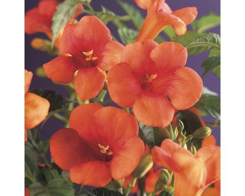 Klettertrompete FloraSelf® Campsis radicans 53-70 cm