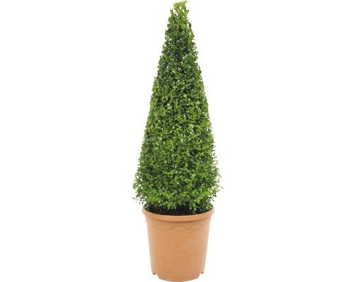 Buchsbaum-Pyramide FloraSelf Buxus sempervirens H 70-75 cm Co 7,5 L