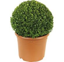 Buchsbaum-Kugel FloraSelf Buxus sempervirens H 25-35 cm Co 5 L-thumb-0