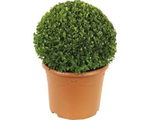 Buis boule FloraSelf Buxus sempervirens H25-35cm Co 5l