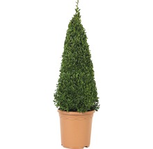Buchsbaum-Pyramide FloraSelf Buxus sempervirens H 50-60 cm Co 4,5 L-thumb-1