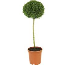 Buchsbaum-Stämmchen FloraSelf Buxus sempervirens H 40-50 cm Co 7,5 L-thumb-0