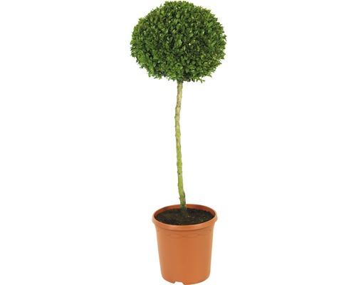 Buchsbaum-Stämmchen FloraSelf Buxus sempervirens H 40-50 cm Co 7,5 L