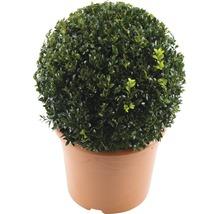Buchsbaum-Kugel FloraSelf Buxus sempervirens H 25-35 cm Co 5 L-thumb-1