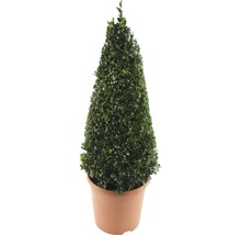 Buchsbaum-Pyramide FloraSelf Buxus sempervirens H 50-60 cm Co 4,5 L-thumb-0