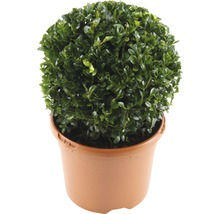 Buchsbaum-Kugel FloraSelf Buxus sempervirens H 20-25 cm Co 3 L-thumb-0