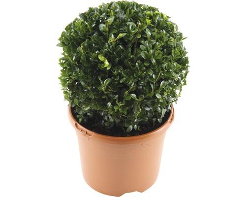 Buis boule FloraSelf Buxus sempervirens H20-25cm Co 3L