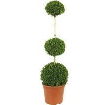Buis 3 boules FloraSelf Buxus sempervirens h 80-100 cm Co 14 L-thumb-0