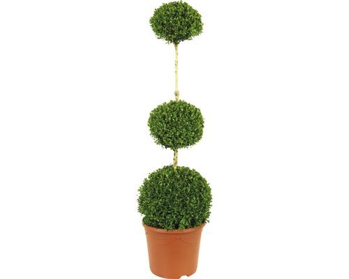 Buis arbuste FloraSelf Buxus sempervirens H120-130cm Co 12L