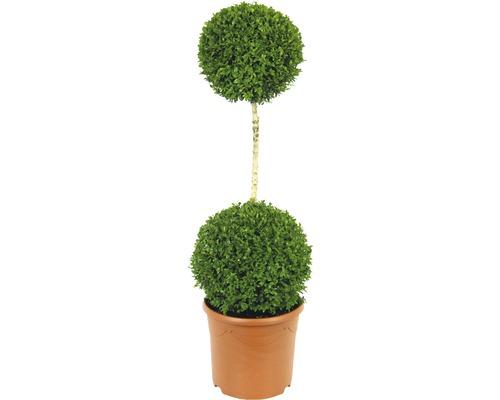 Buis arbuste FloraSelf Buxus sempervirens H110-120cm Co 12L