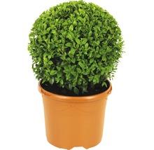 Buchsbaum-Kugel FloraSelf Buxus sempervirens H 20-25 cm Co 3 L-thumb-1